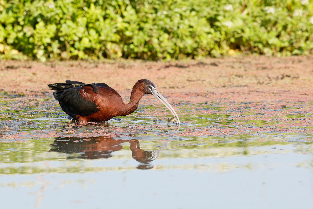 Glossy Ibis / Marievale Bird Sanctuary, Nigel, South Africa / November 2018