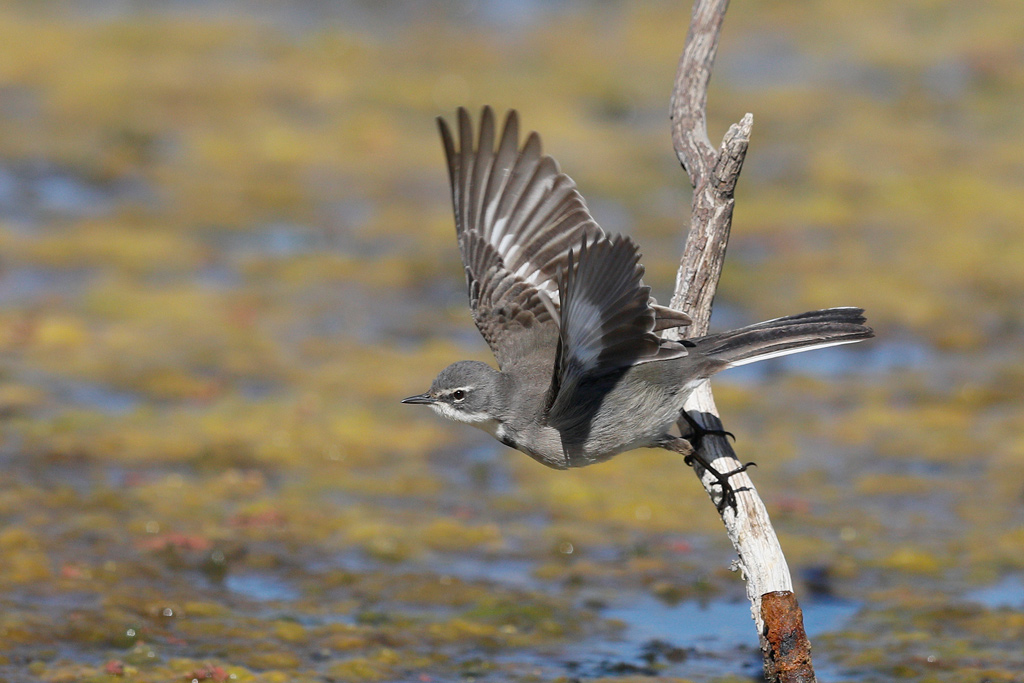 Cape Wagtail / Marievale Bird Sanctuary, Nigel, South Africa / October 2018