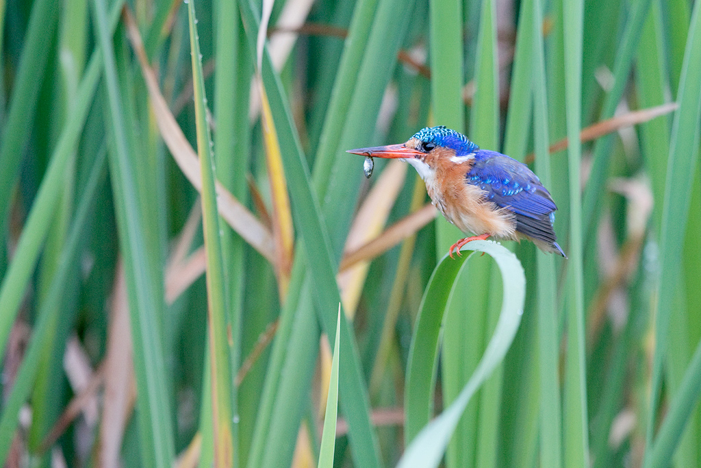Malachite Kingfisher / Marievale Bird Sanctuary, Nigel, Gauteng, South Africa / January 2018