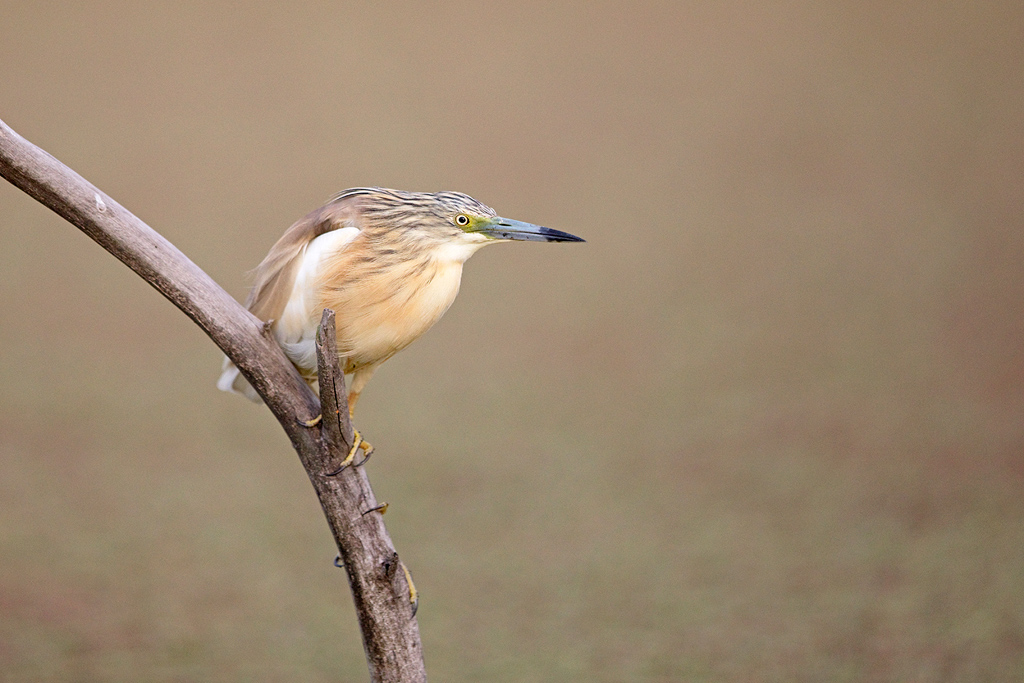 Squacco Heron / Marievale Bird Sanctuary, Nigel, Gauteng, South Africa / October 2017