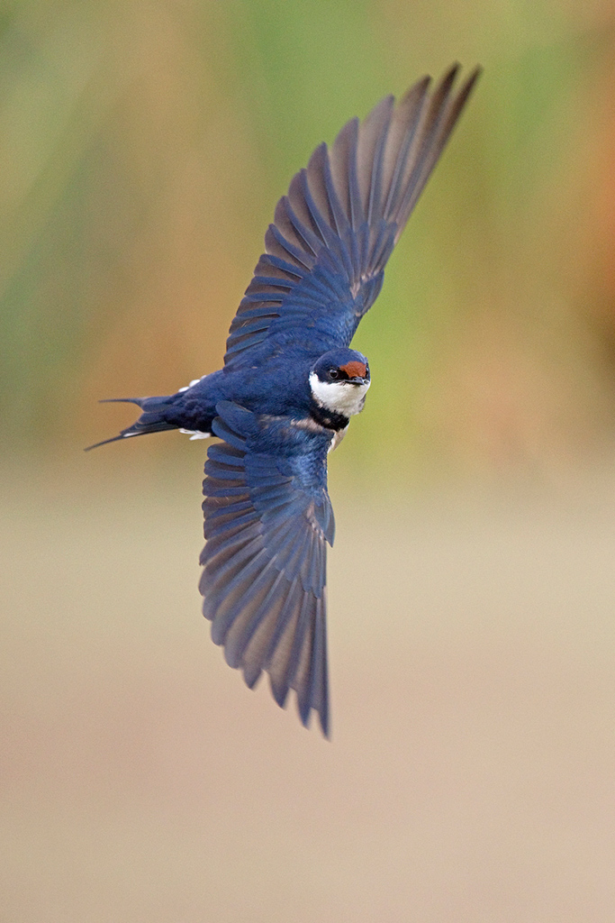 White-throated Swallow / Marievale Bird Sanctuary, Nigel, Gauteng, South Africa / November 2017