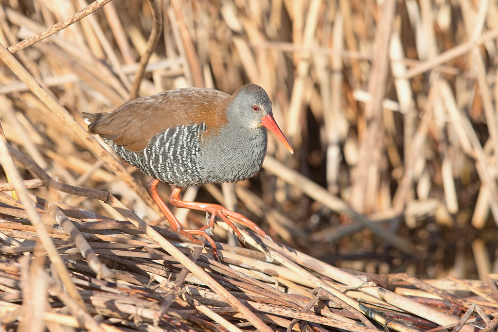 African Rail / Marievale Bird Sanctuary, Nigel. South Africa / 11 July 2017