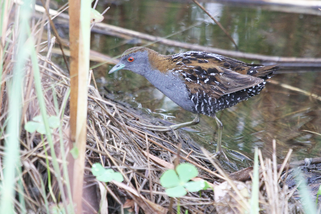 Baillon's Crake / Marievale Bird Sanctuary, South Africa / 23 Janaury 2012