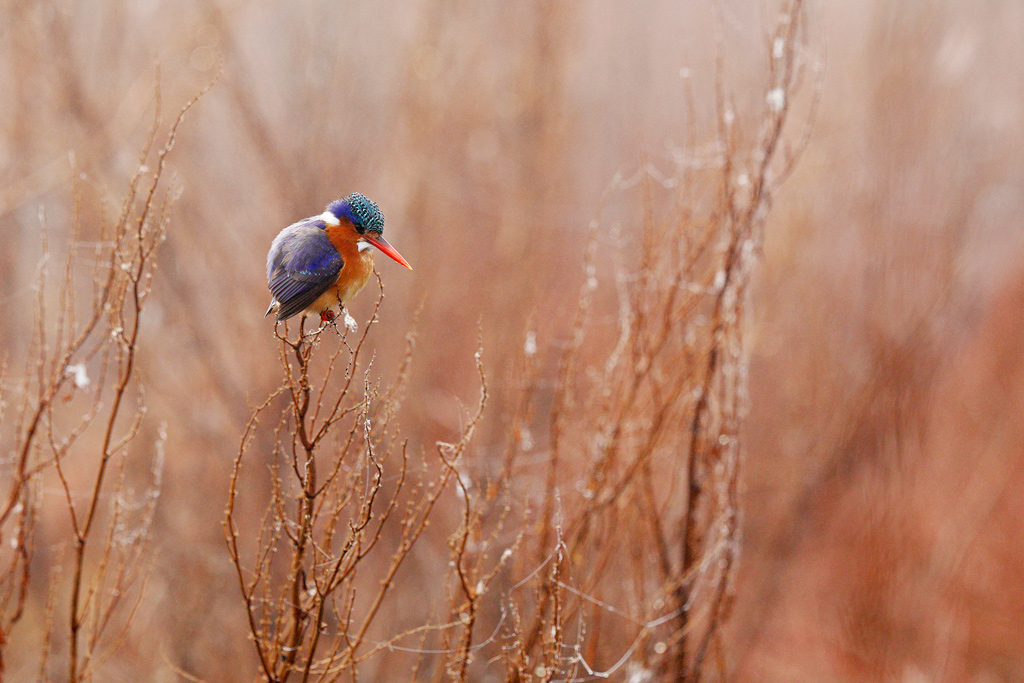 Malachite Kingfisher / Marievale Bird Sanctuary, South Africa / June 2018