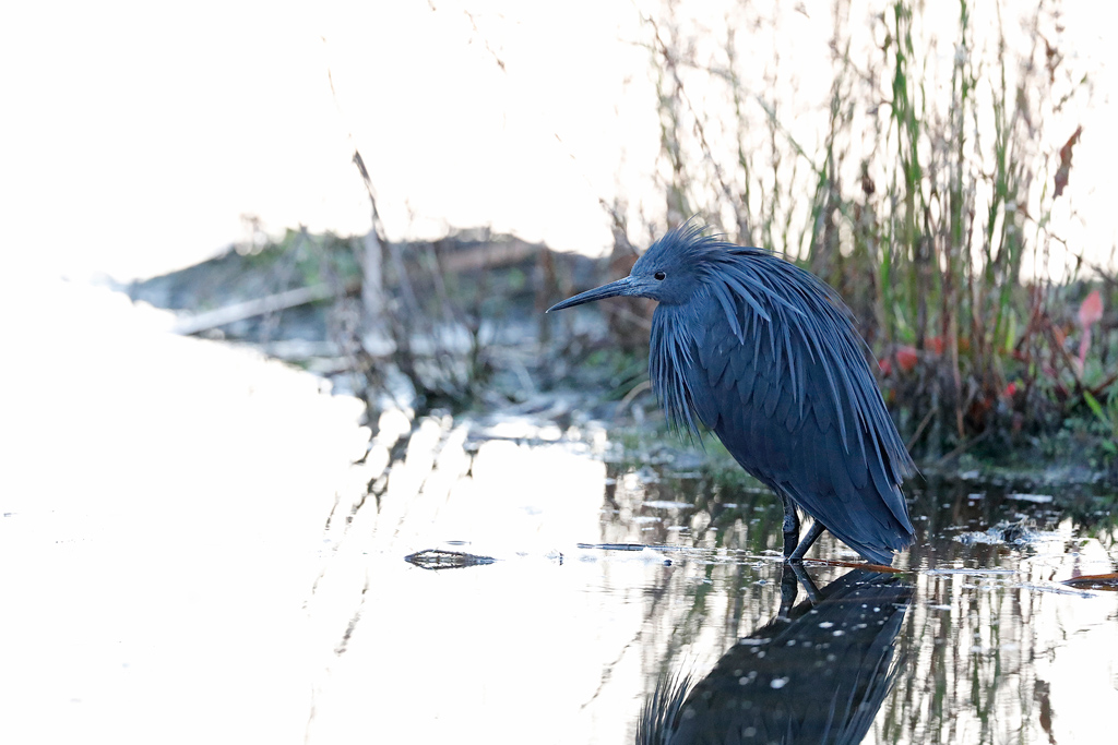 Black Heron / Marievale Bird Sanctuary, Nigel, South Africa / March 2020