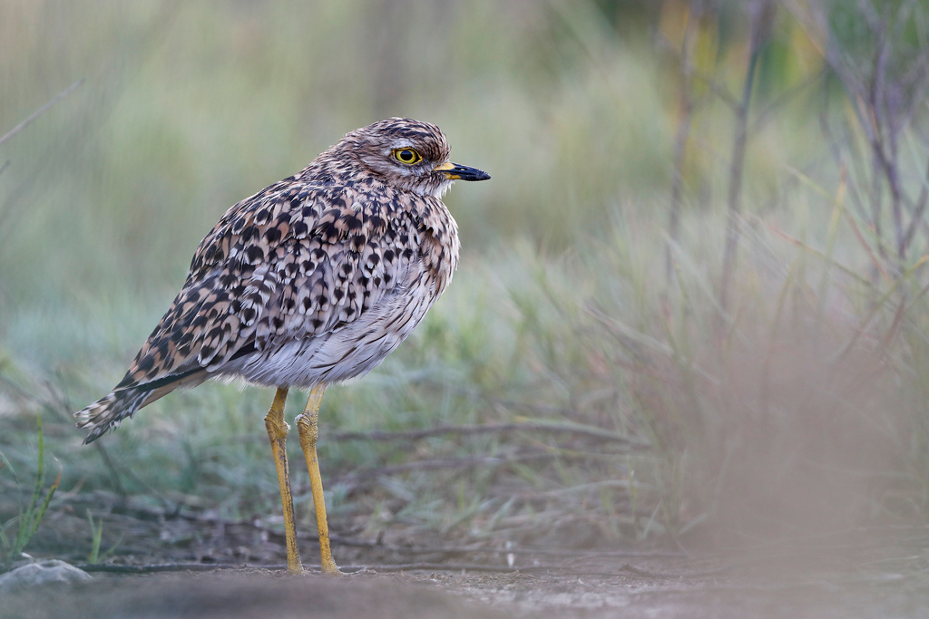 Spotted Thick-knee / Marievale Bird Sanctuary, Nigel, South Africa / Januaary 2020