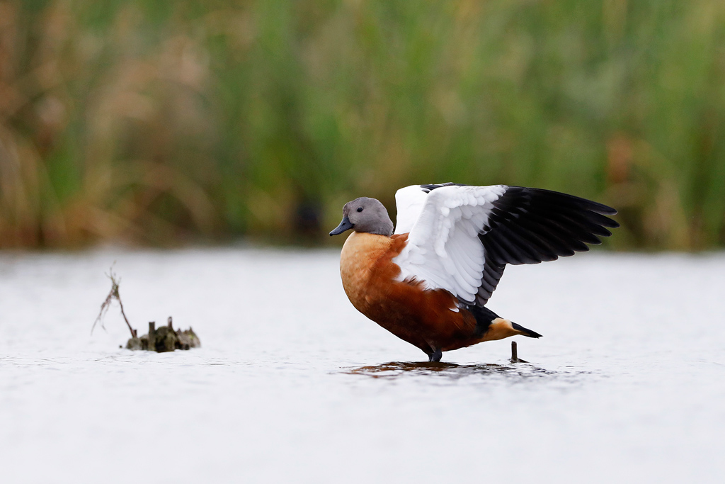 South African Shelduck / Marievale Bird Sanctuary, Nigel, South Africa / March 2020