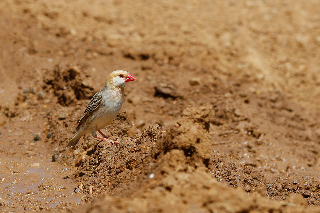 Red-billed Quelea / Eendracht Road, Suikerbosrand, South Africa / December 2015