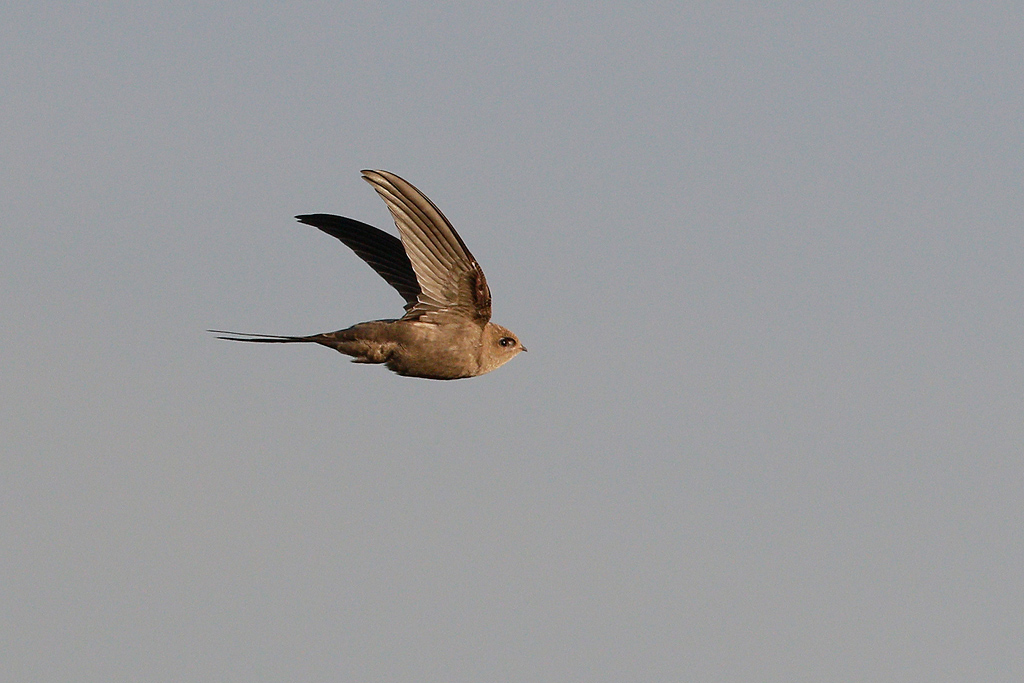 African Palm Swift / Marievale Bird Sanctuary, Nigel, South Africa / 31 December 2015