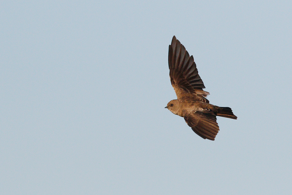 Brown-throated Martin – Marievale Bird Sanctuary, Nigel, South Africa – 31 December 2016