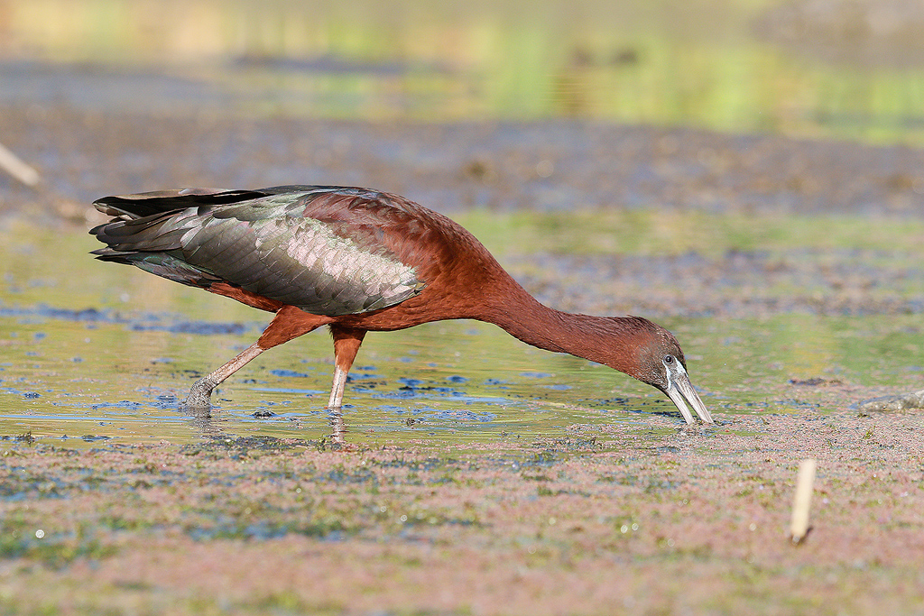 Glossy Ibis / Marievale Bird Sanctuary, Nigel, South Africa / 31 December 2015
