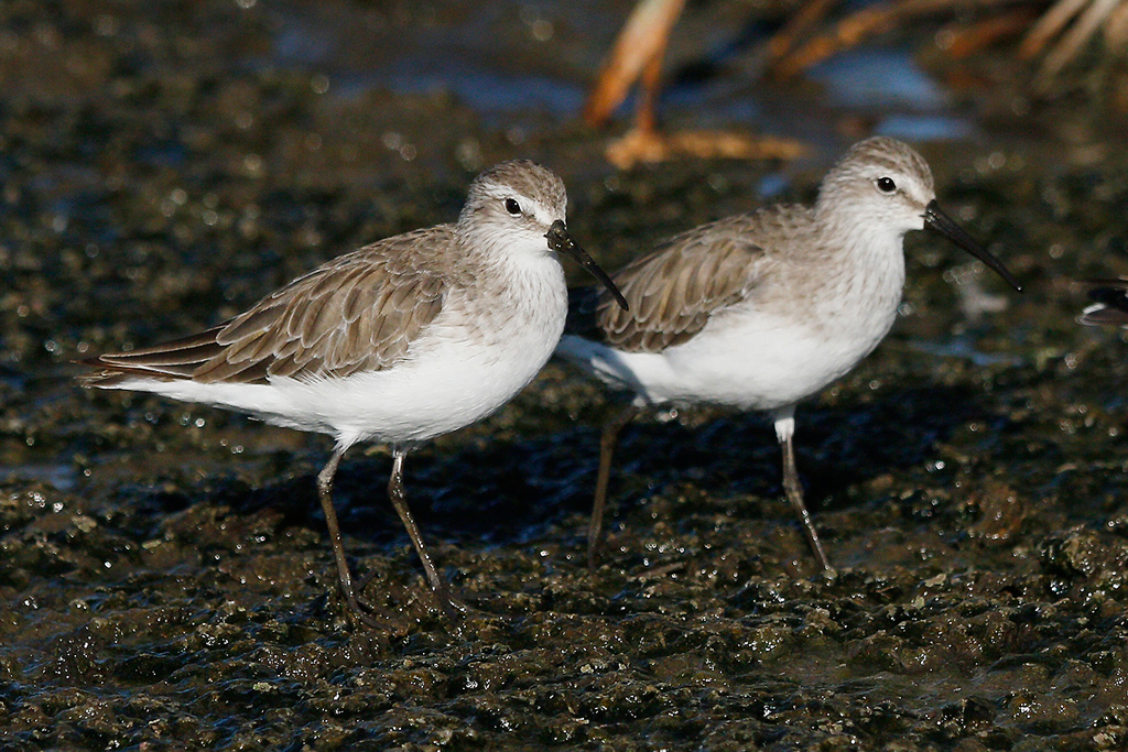 Curlew Sandpiper – Marievale Bird Sanctuary, Nigel, South Africa – 31 December 2015