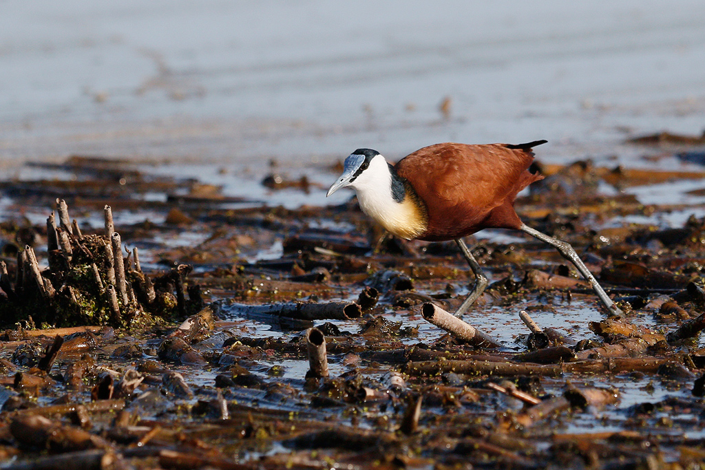 African Jacana / Marievale Bird Sanctuary, Nigel, South Africa / January 2016