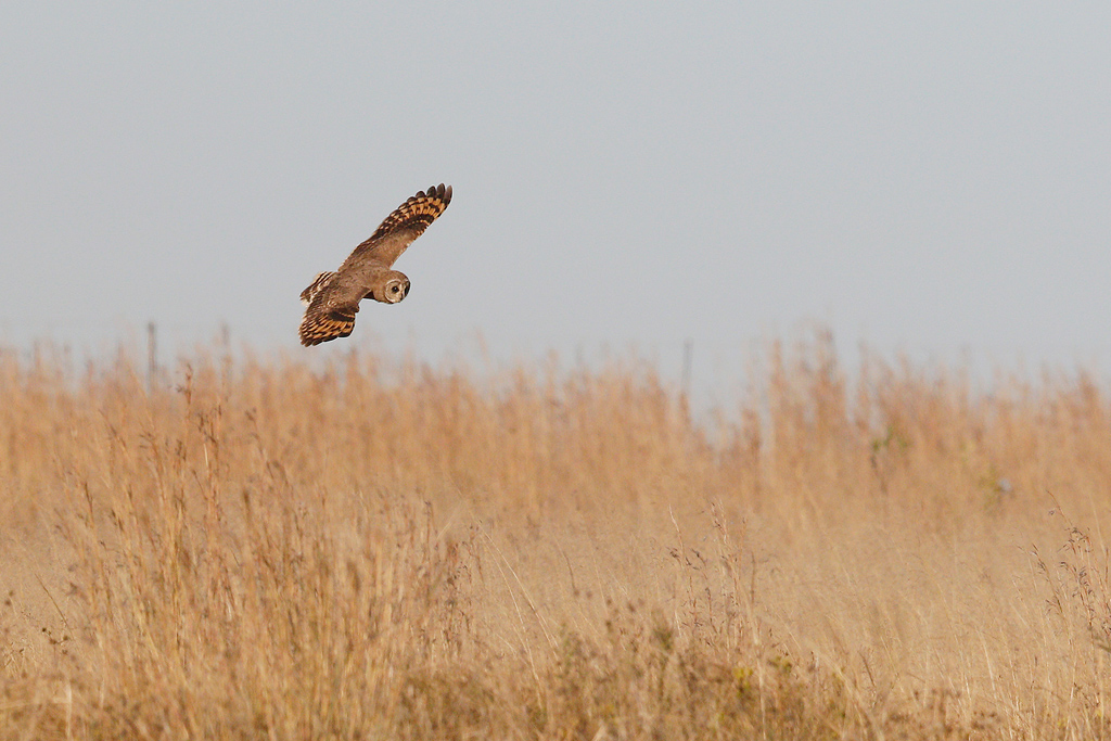 Marsh Owl / Devon Farmlands, South Africa / 02 May 2015