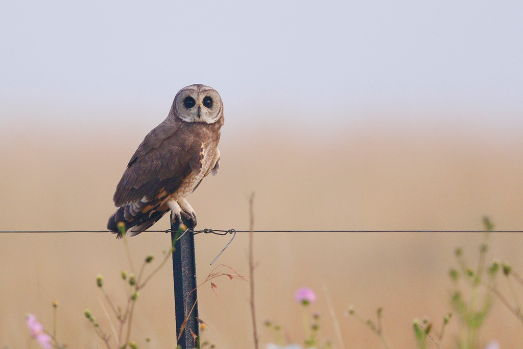 Marsh Owl / Devon farmlands, South Africa / 14 March 2015