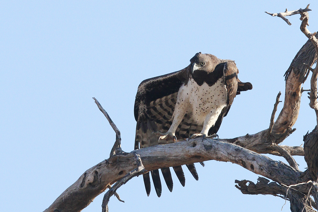 Martial Eagle / Kgalagadi Transfrontier Park, South Africa / June 2014
