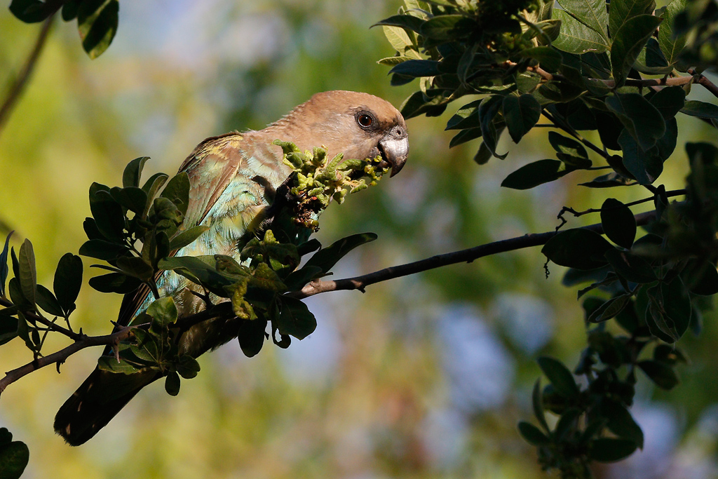 Meyer's Parrot / Mabula Game Reserve, Waterberg, South Africa / 06 January 2015