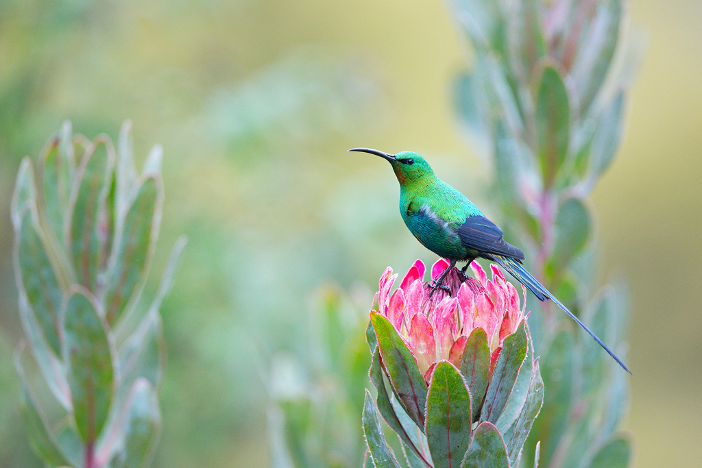 Malachite Sunbird / Balgowan, KwaZulu Natal, South Africa / October 2020