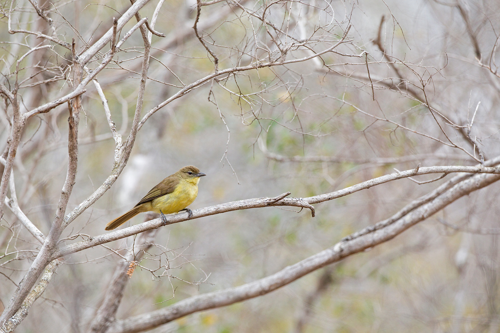 Yellow-bellied Greenbul / Mkhuze Game Reserve, South Africa / September 2020