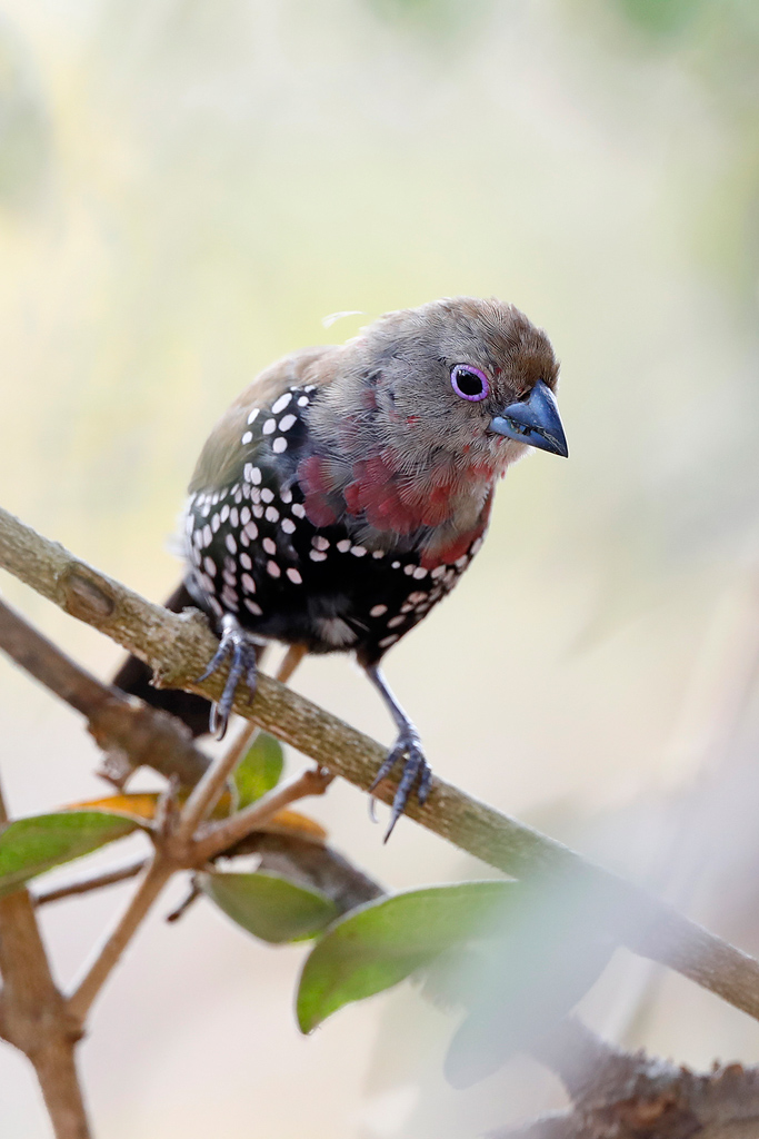 Pink-throated Twinspot / Mkhuze Game Reserve, South Africa / September 2020