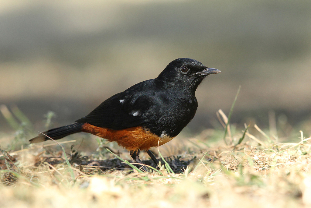 Mocking Cliff Chat / Suikerbosrand Nature Reserve, South East Gauteng, South Africa / 24 May 2014