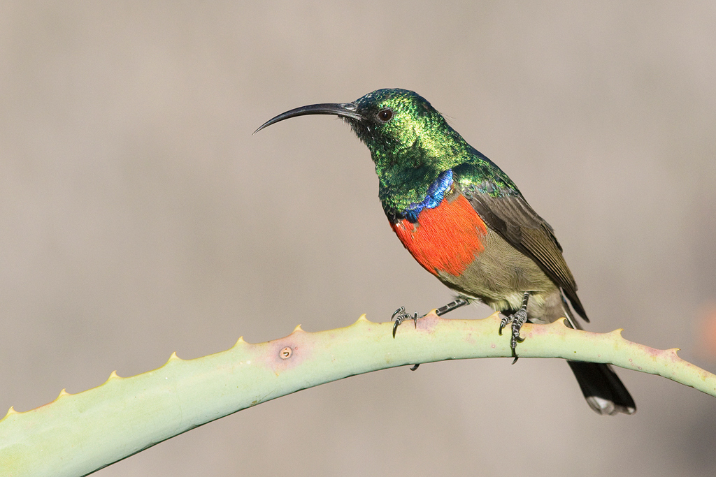 Greater Double-collared Sunbird / Montusi Mountain Lodge, Drakensberg, South Africa / 29 March 2016
