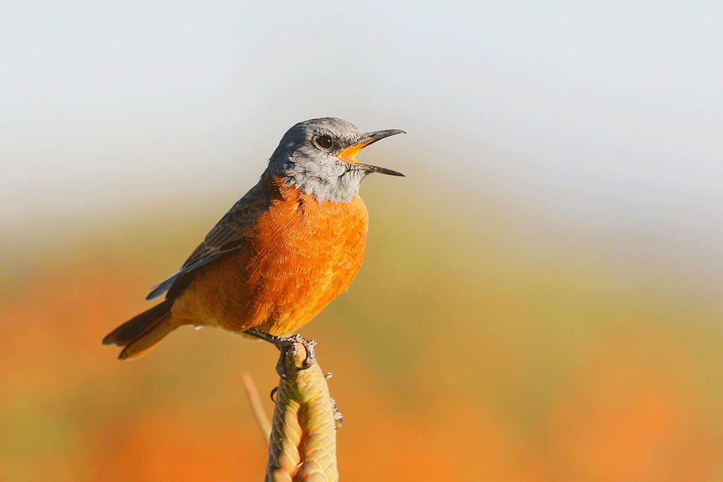Cape Rock-thrush / Montusi Mountain Lodge, Drakensberg, South Africa / March 2016
