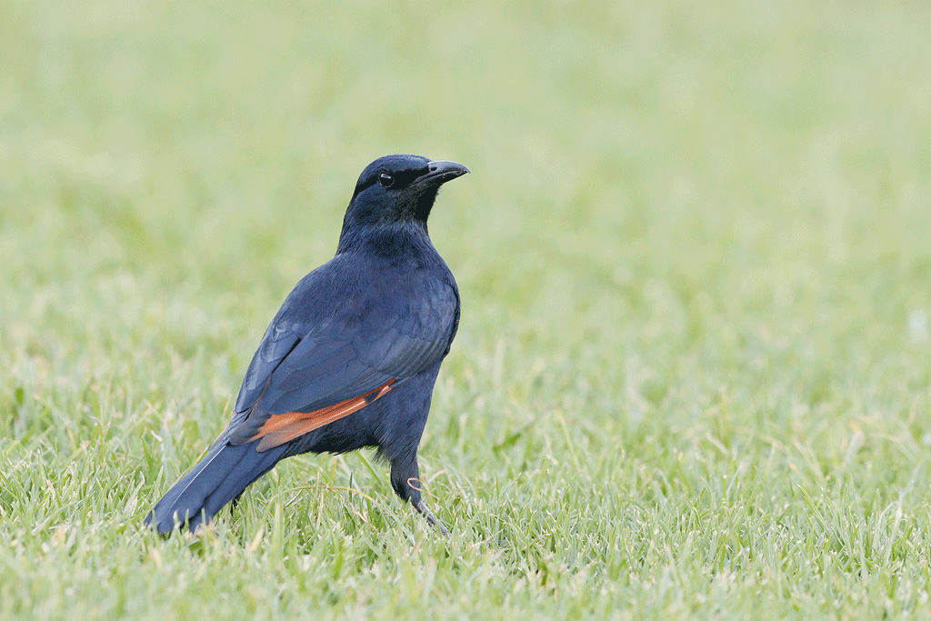 Red-winged Starling / Tendele, Drakensberg, South Africa