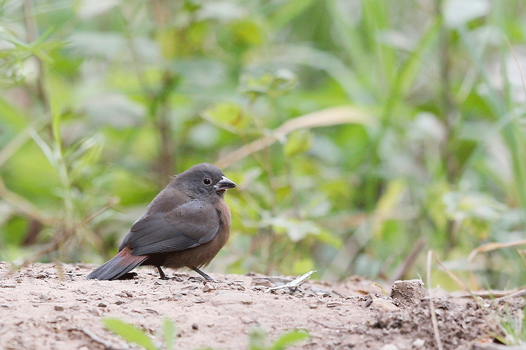 African Firefinch / The Cavern, Drakensberg, South Africa / March 2016