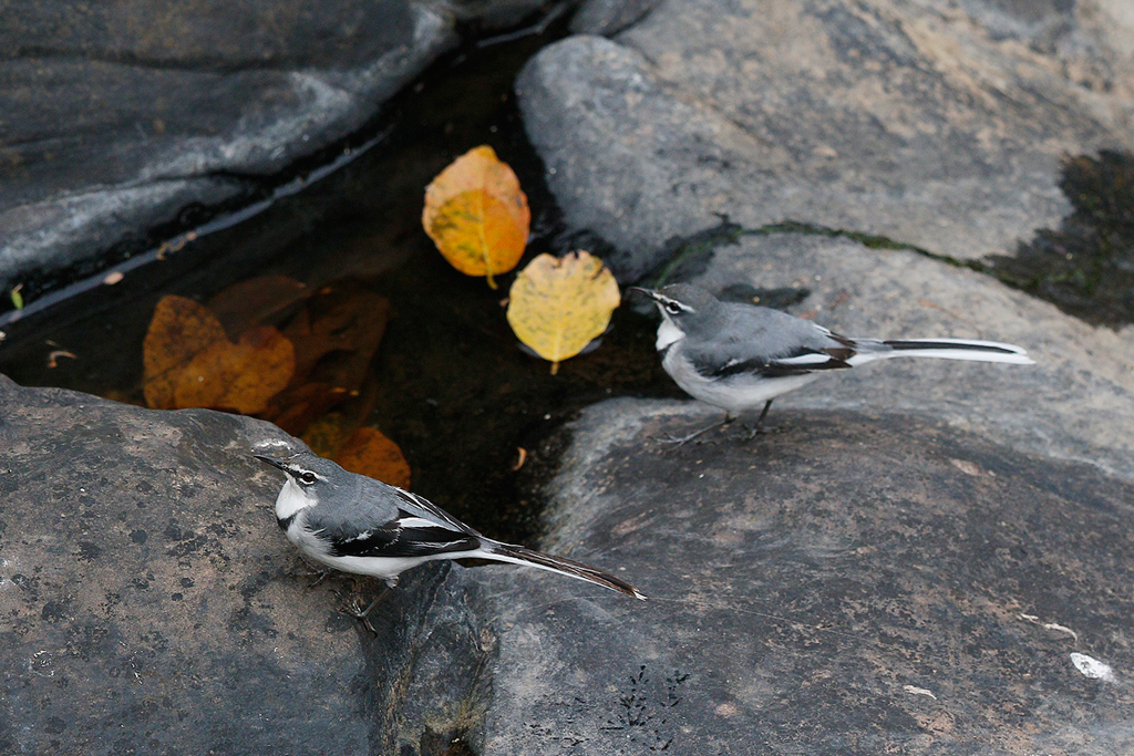 Mountain Wagtail / Gwahumbe Game Reserve, Mid Illovo, Kwazulu Natal, South Africa / 28 August 2015