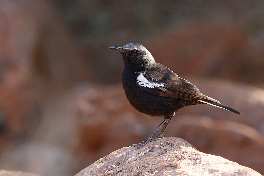 Mountain wheatear / Tswalu Kalahari Reserve, South Africa / 16 June 2015