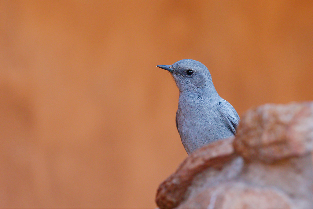 Mountain wheatear / Tswalu Kalahari Reserve, South Africa / June 2015