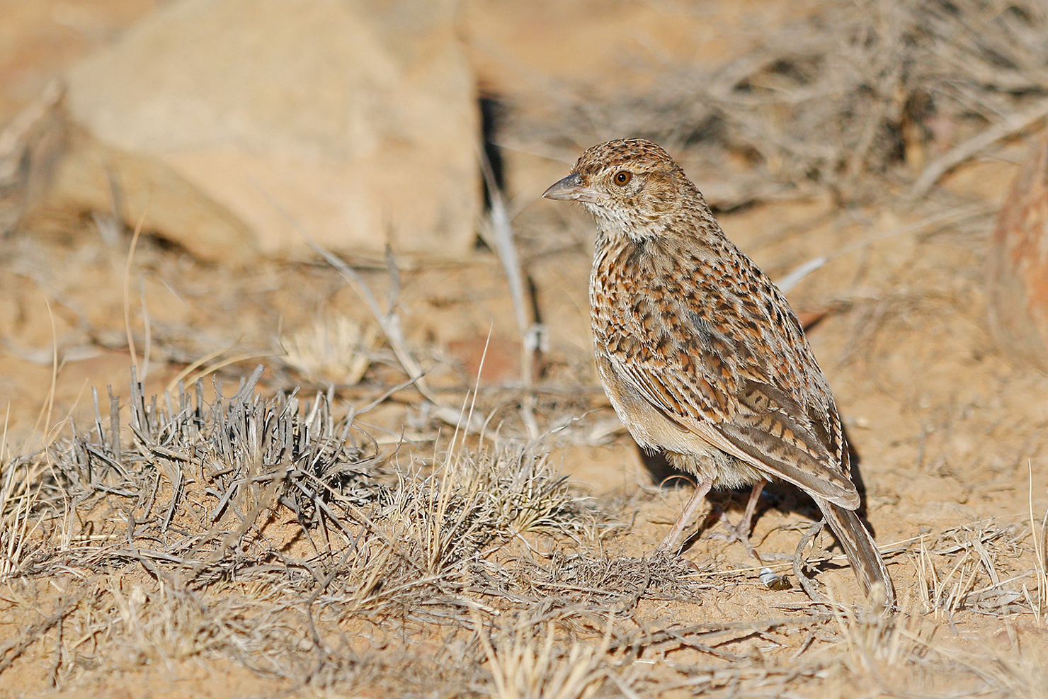 Eastern Clapper Lark (juvenile) / Mountain Zebra Park, Eastern Cape, South Africa / 17 December 2016