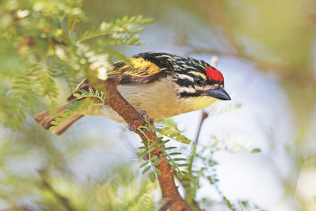 Red-fronted Tinkerbird / Mountain Zebra Park, Eastern Cape, South Africa / 19 December 2016