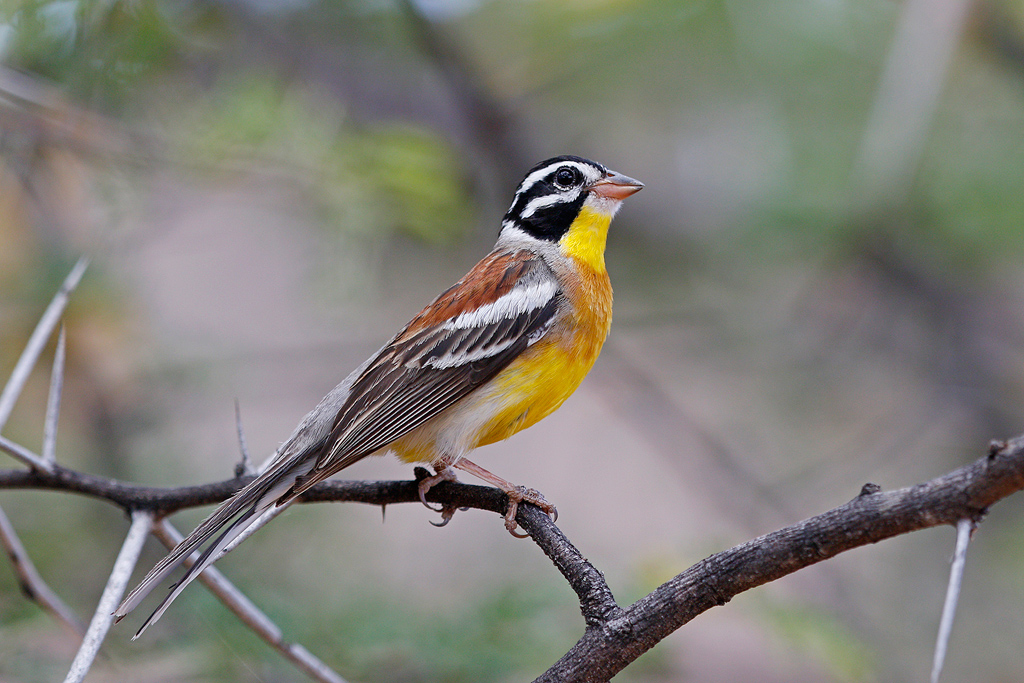 Golden-breasted Bunting / Mountain Zebra Park, Eastern Cape, South Africa / 16 December 2016