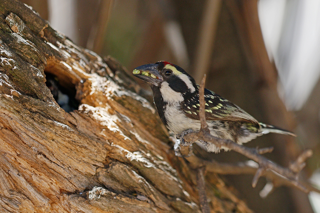 Acacia Pied Barbet / Mountain Zebra Park, Eastern Cape, South Africa / 17 December 2016