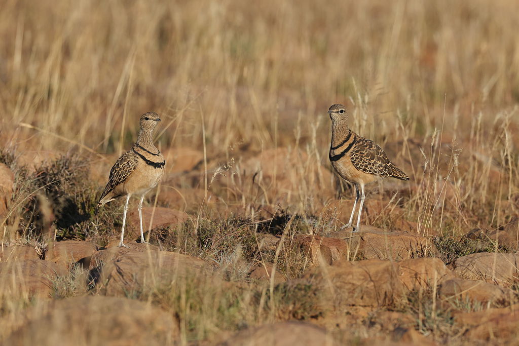Double-banded Courser / Mountain Zebra National Park, South Africa / April 2021