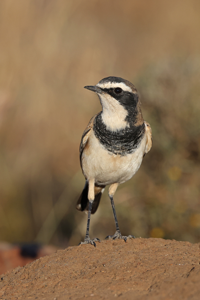 Capped Wheatear / Mountain Zebra National Park, South Africa / April 2021