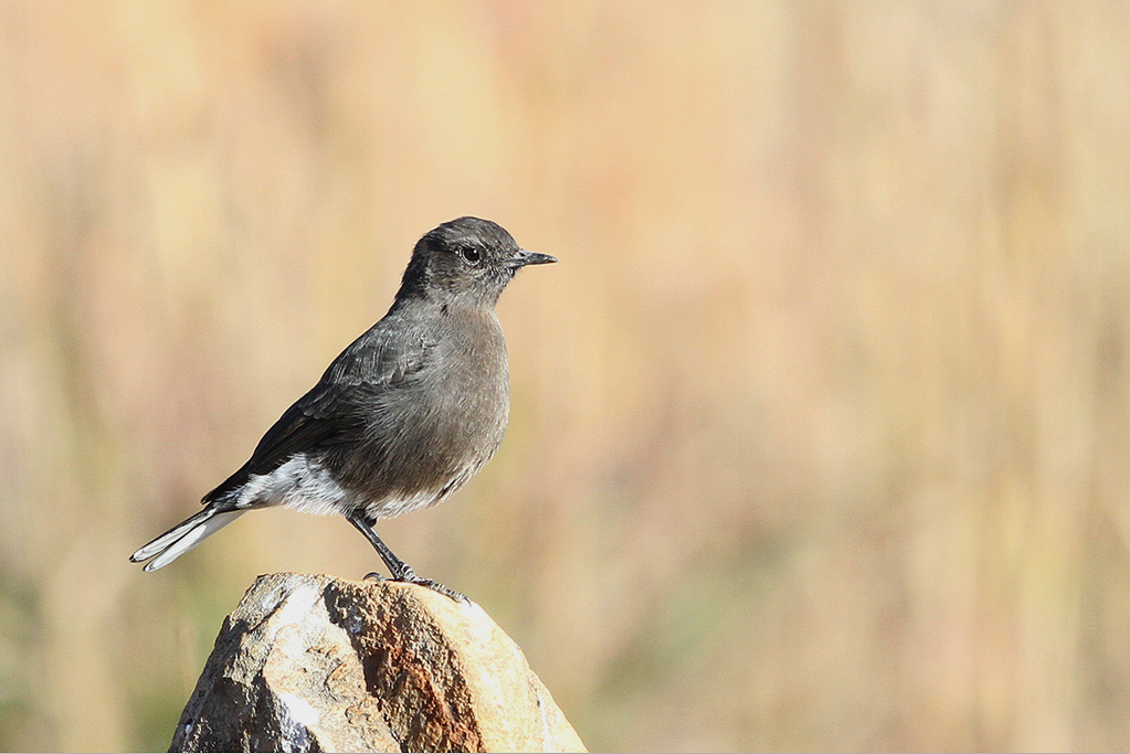 Mountan Wheatear or Mountain Chat / Suikerbosrand Nature Reserve, South Africa / 01 May 2014