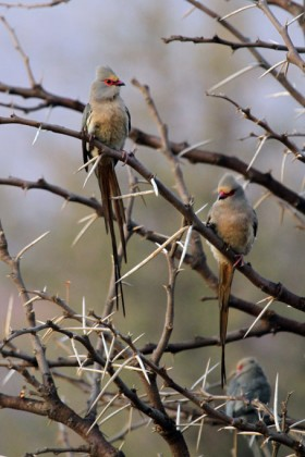 Red-faced Mousebird / Pilansberg National Park, South Africa
