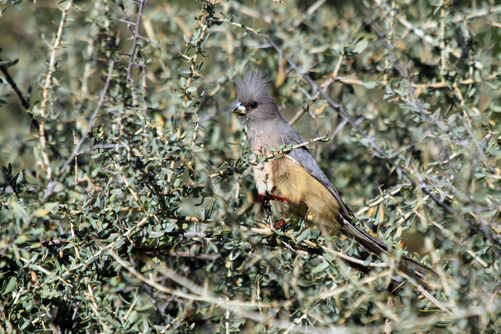 White-backed Mousebird / Zebra River Lodge, Southern Namibia