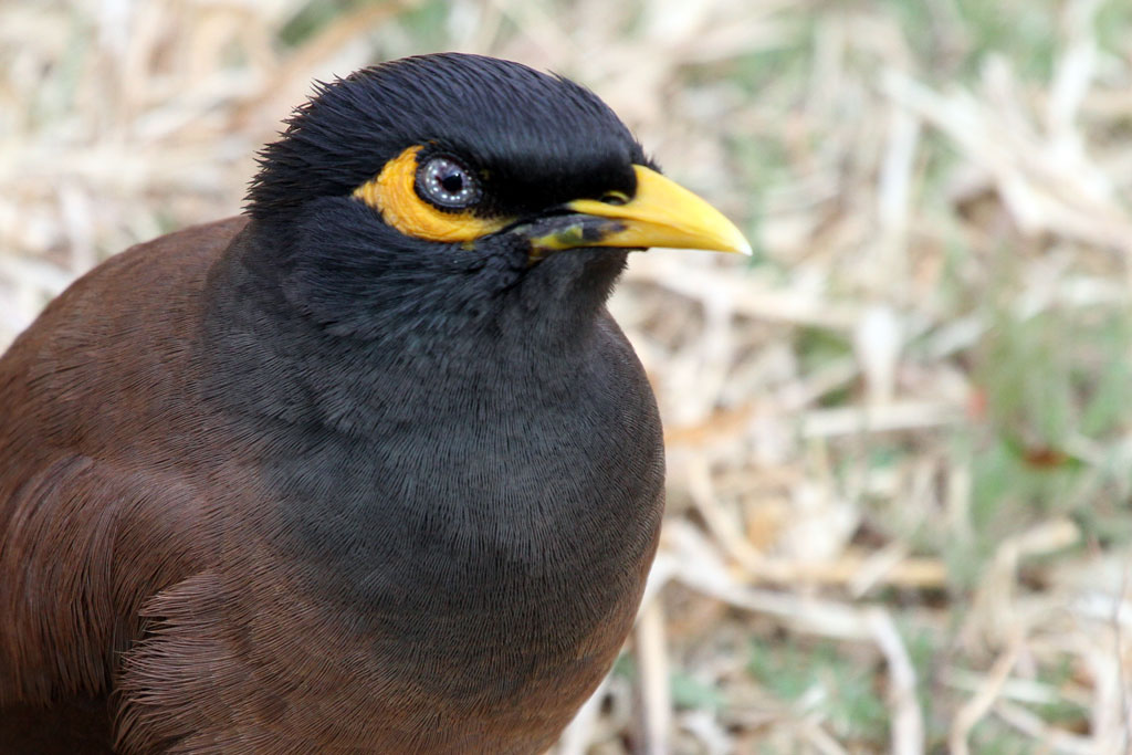 Common or Indian Myna / Sun City, South Africa