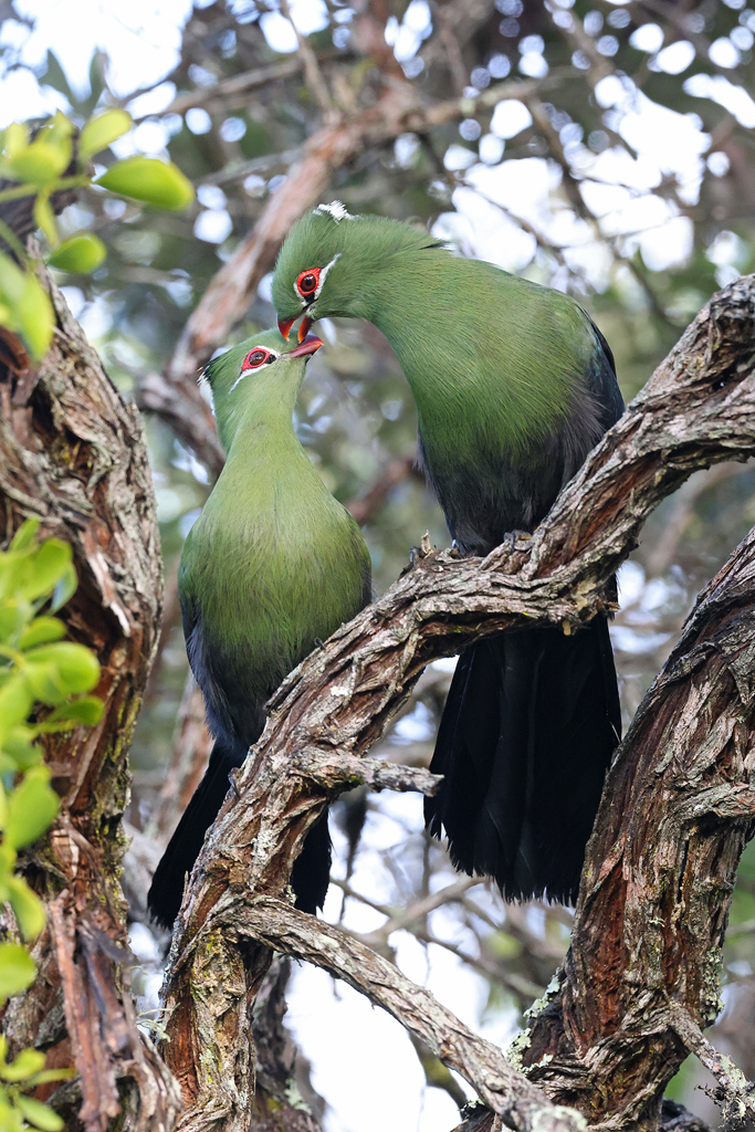 Knysna Turaco / Nature's Valley, Western Cape, South Africa / April 2021