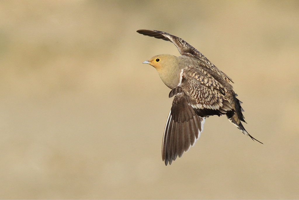Namaqua Sandgrouse / Kgalagadi Transfrontier Park, South Africa / 11 June 2014 (Edited – removed oof birds)