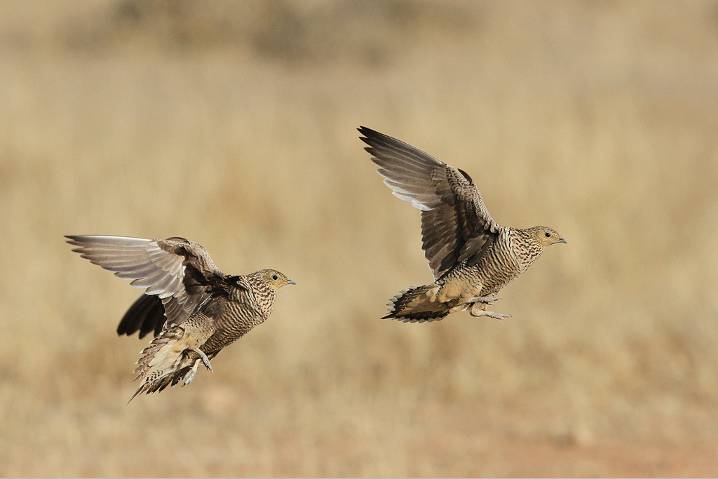 Namaqua Sandgrouse (females)