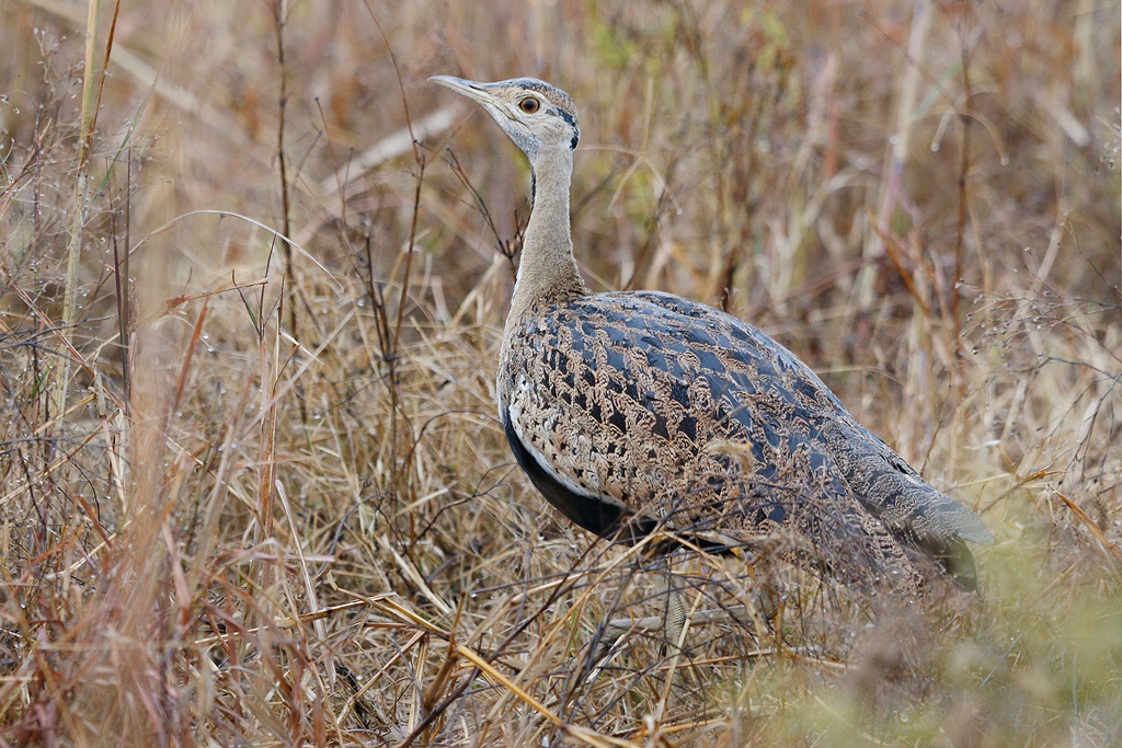 Black-bellied Bustard / Nambiti Game Reserve, Ladysmith, South Africa / June 2016