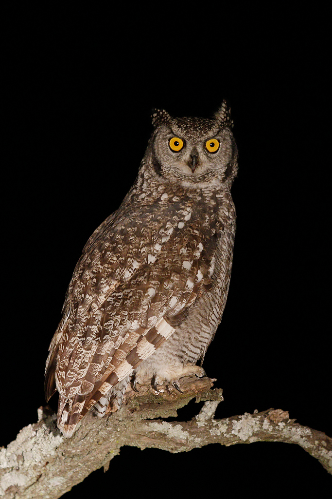 Spotted Eagle Owl / Nambiti Game Reserve, Ladysmith, South Africa / June 2016