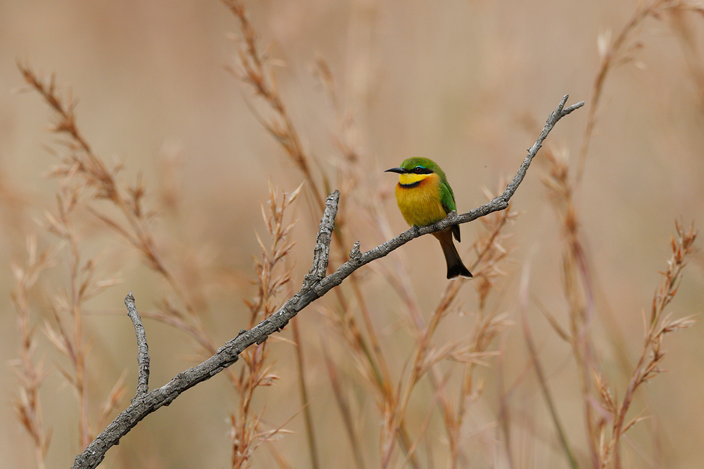 Little Bee-eater / Nambiti Game Reserve, Ladysmith, South Africa / June 2016