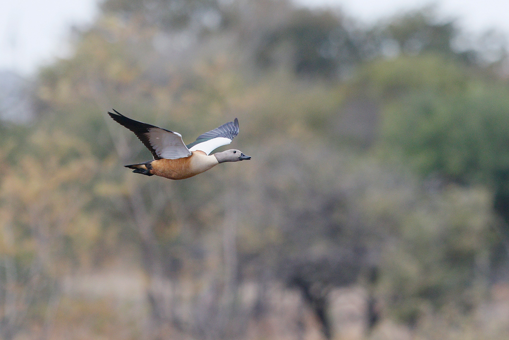South African Shelduck / Nambiti Game Reserve, Ladysmith, South Africa / June 2016