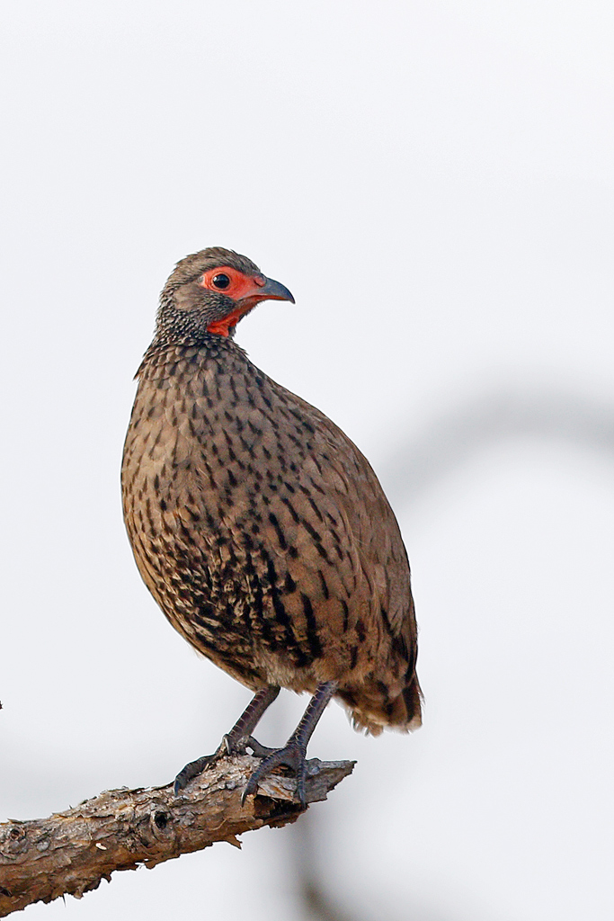 Swainson's Spurfowl / Waterberg, South Africa
